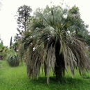 Image of South American jelly palm
