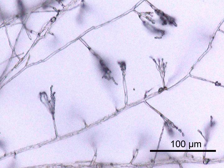 Image of Penicillium
