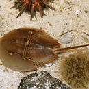 Image of horseshoe crabs and relatives