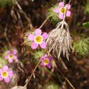 Image of <i>Leptosiphon bicolor</i>