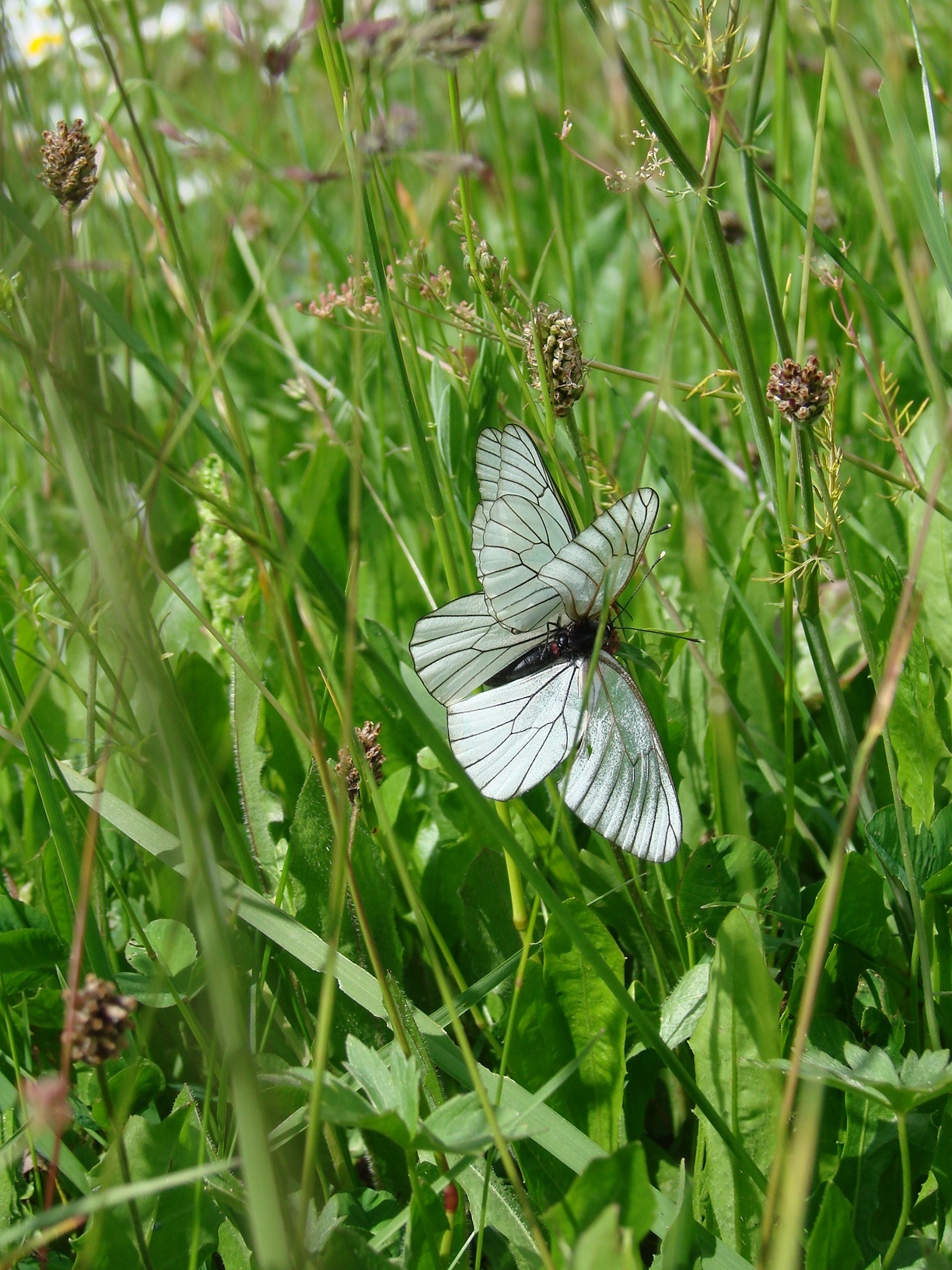 Image of black-veined white