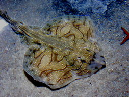 Image of Painted ray or Undulate ray