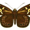 Image of <i>Capila lidderdali</i> Elwes 1888