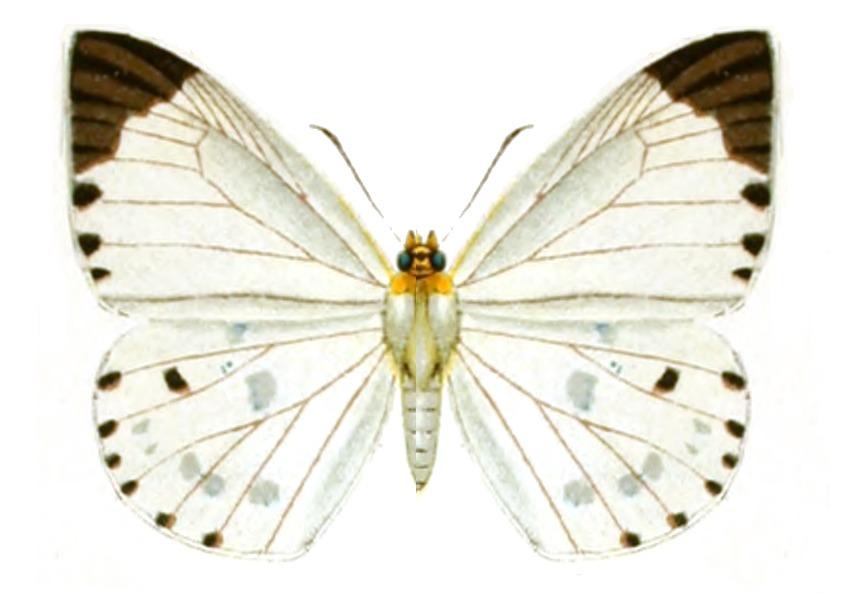 Image of <i>Calliana pieridoides</i> Moore 1878