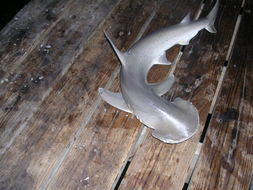 Image of Bonnethead Shark
