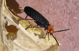 Image of Master Blister Beetle