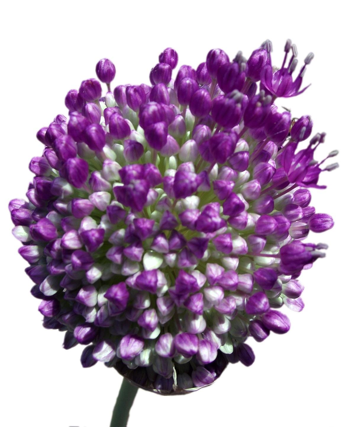 Image of <i>Allium giganteum</i> Regel