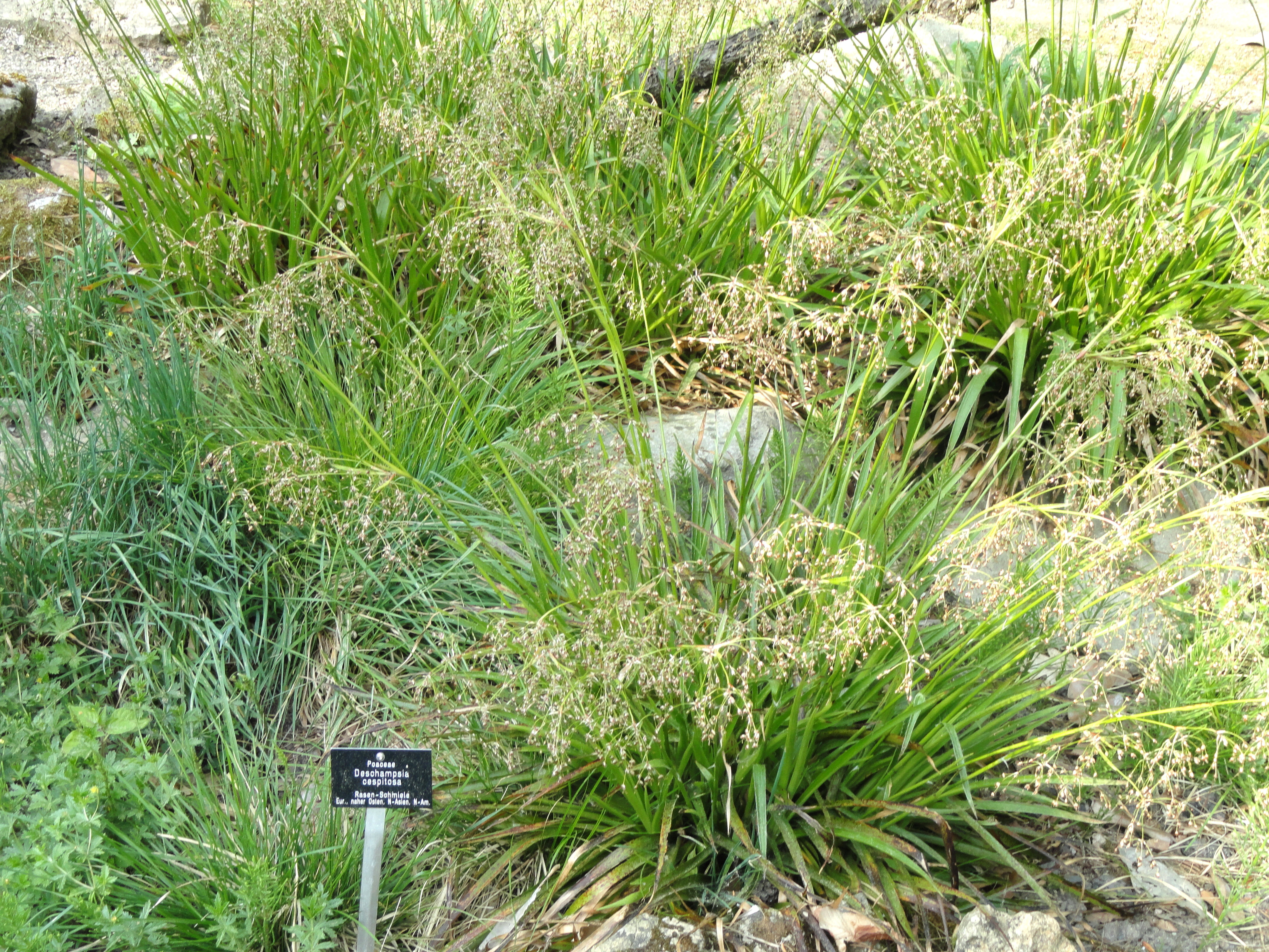 Image of Tufted Hair-grass