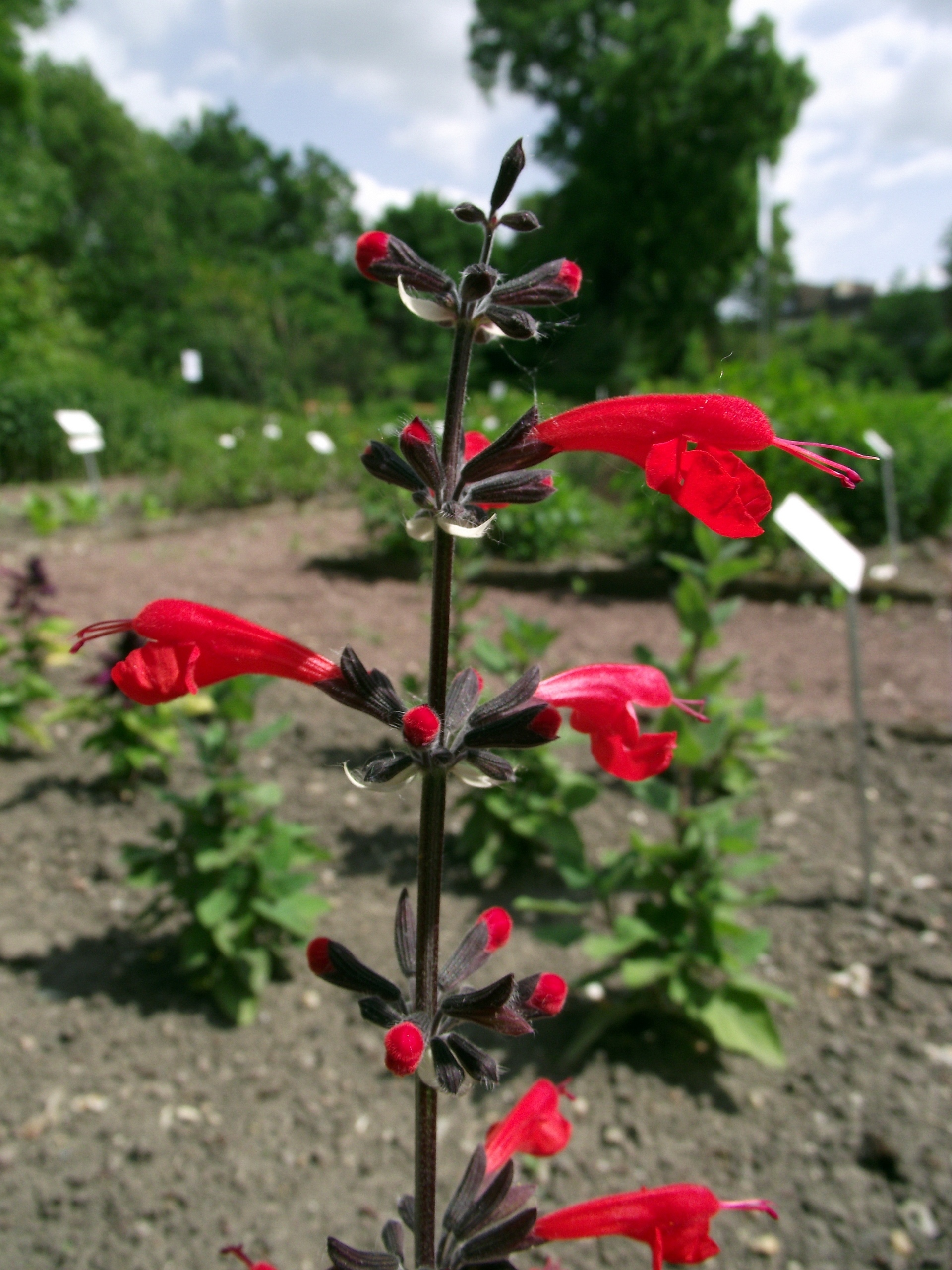 Image of Red sage