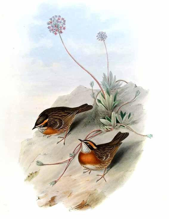 Image of Rufous-breasted Accentor