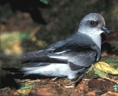 Image of Fork-tailed storm petrel