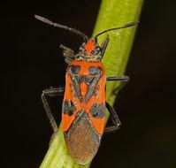 Image of black & red squash bug