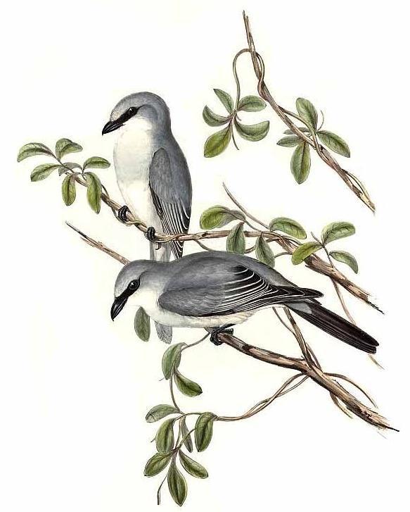 Image of Coracina Vieillot 1816