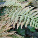 Image of Autumn fern