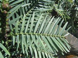 Image of Wollemi Pine