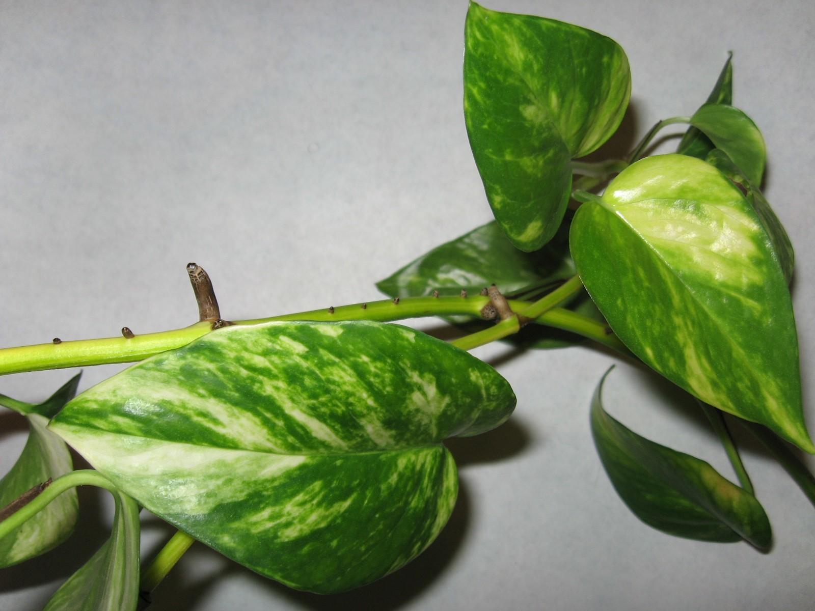 Image of <i>Epipremnum aureum</i> (Linden & André) G. S. Bunting