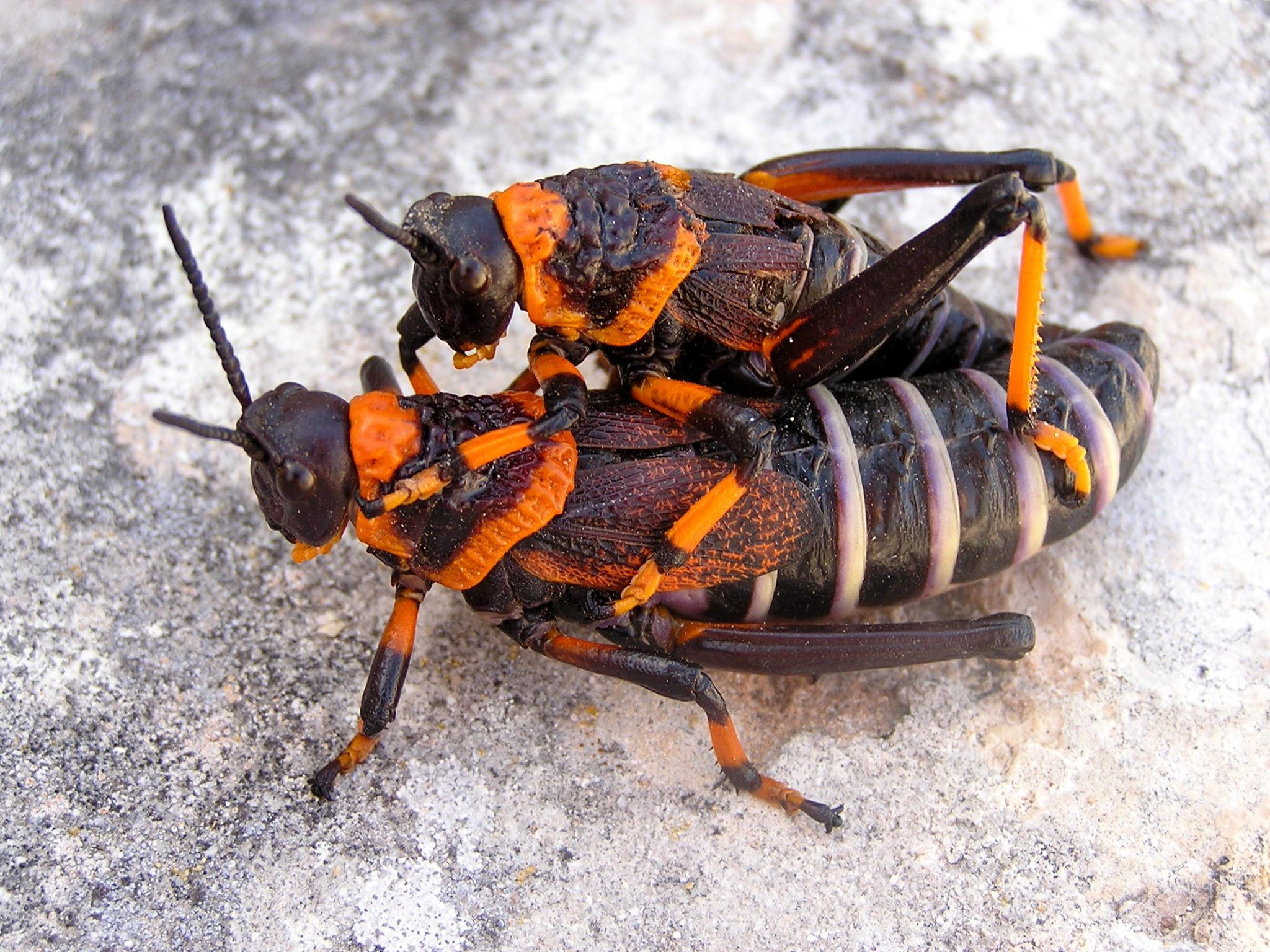 Image of Koppie Foam Grasshopper