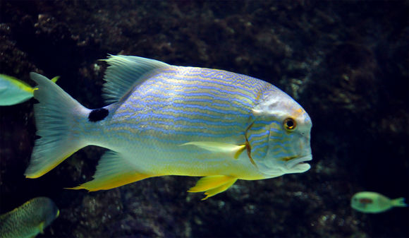 Image of Blue and gold striped snapper