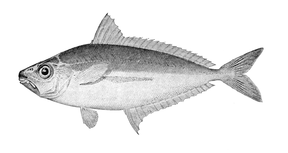 Image of <i>Equulites stercorarius</i> (Evermann & Seale 1907)