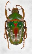 Image of <i>Stephanorrhina guttata</i> (Olivier 1789)