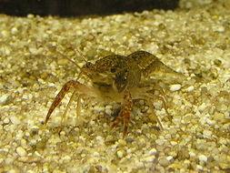 Image of <i>Procambarus fallax</i> fm. <i>virginalis</i>