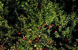 Image of American Cranberry