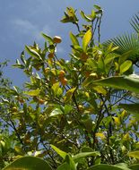 Image of <i>Citrus tachibana</i>