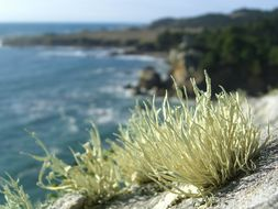 Image of Armored fog lichen
