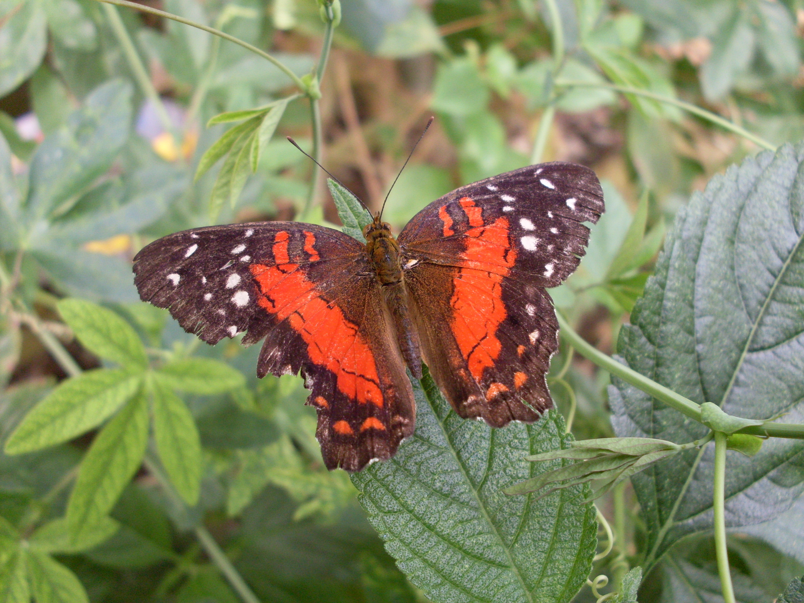 Image of <i>Anartia amathea</i> Linnaeus 1758
