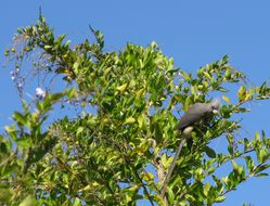 Image of White-backed Mousebird