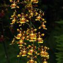 Image of <i>Grandiphyllum auricula</i> (Vell.) Docha Neto