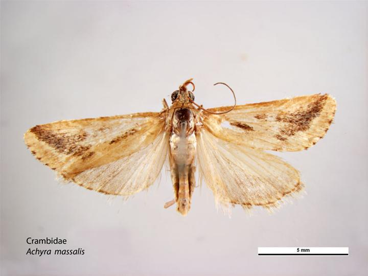 Image of <i>Achyra massalis</i> Walker 1859