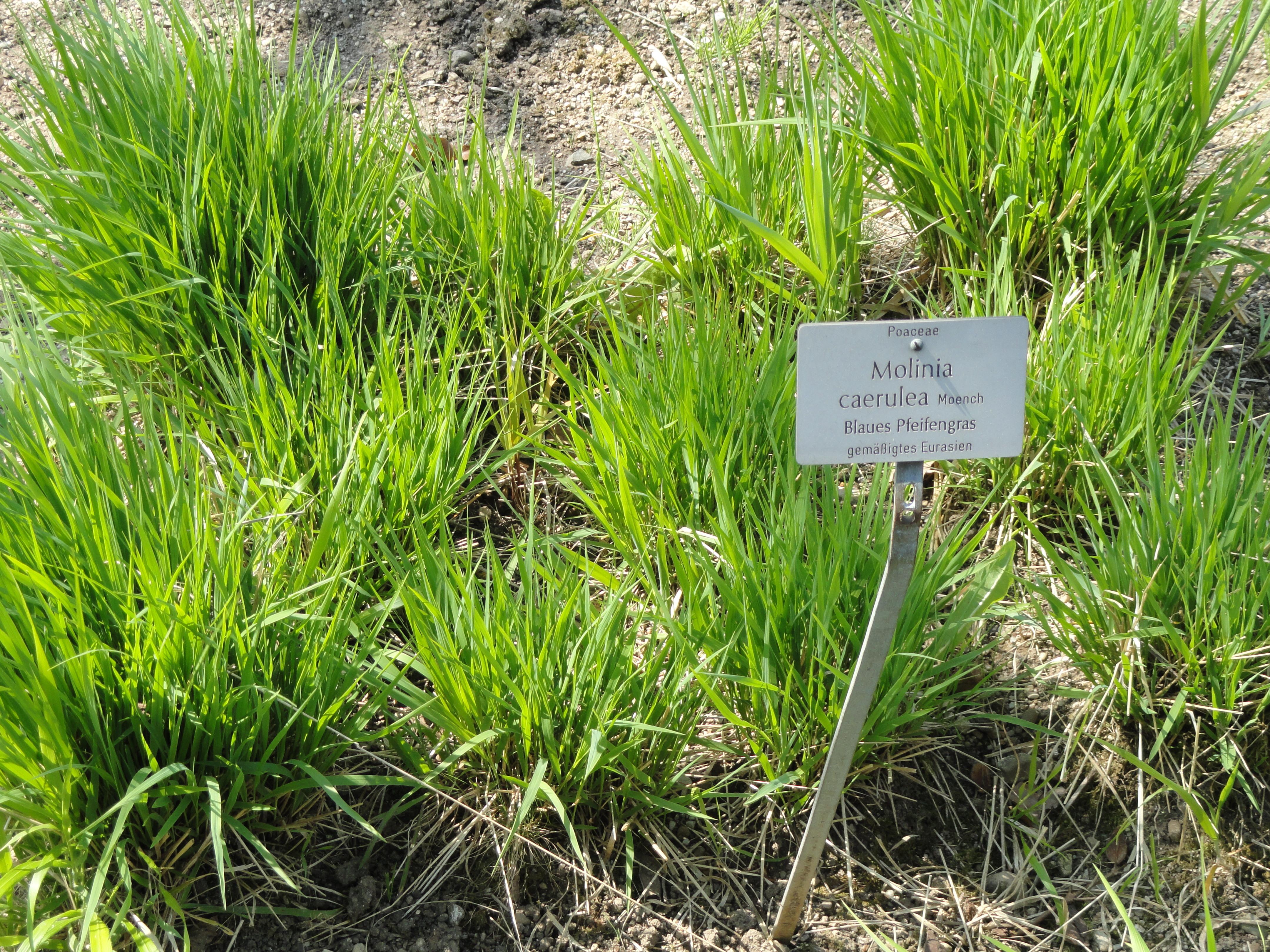Image of Purple Moor Grass