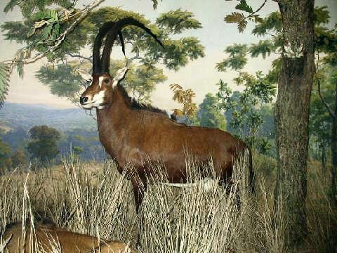Image of <i>Hippotragus niger variani</i> Thomas 1916