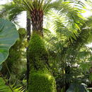 Image of Short Trunk Tropical Tree Ferns