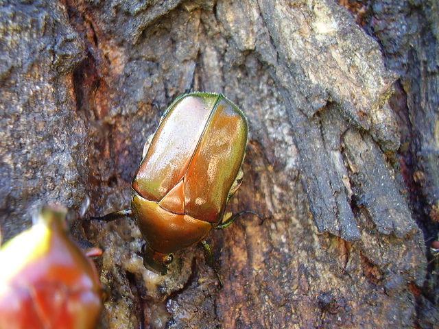 Image of <i>Rhomborrhina japonica</i>