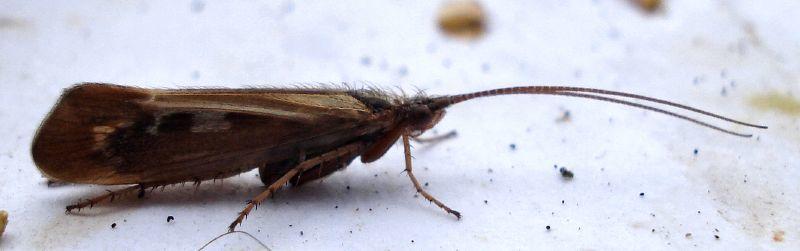 Image of Limnephilus