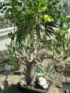 Image of <i>Pachypodium rosulatum</i> Baker