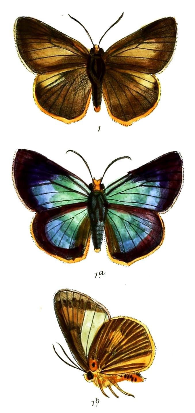 Image of Bibasis