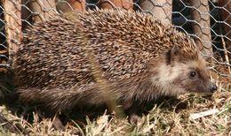 Image of South African hedgehog