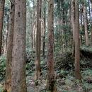 Image of Formosan Cypress