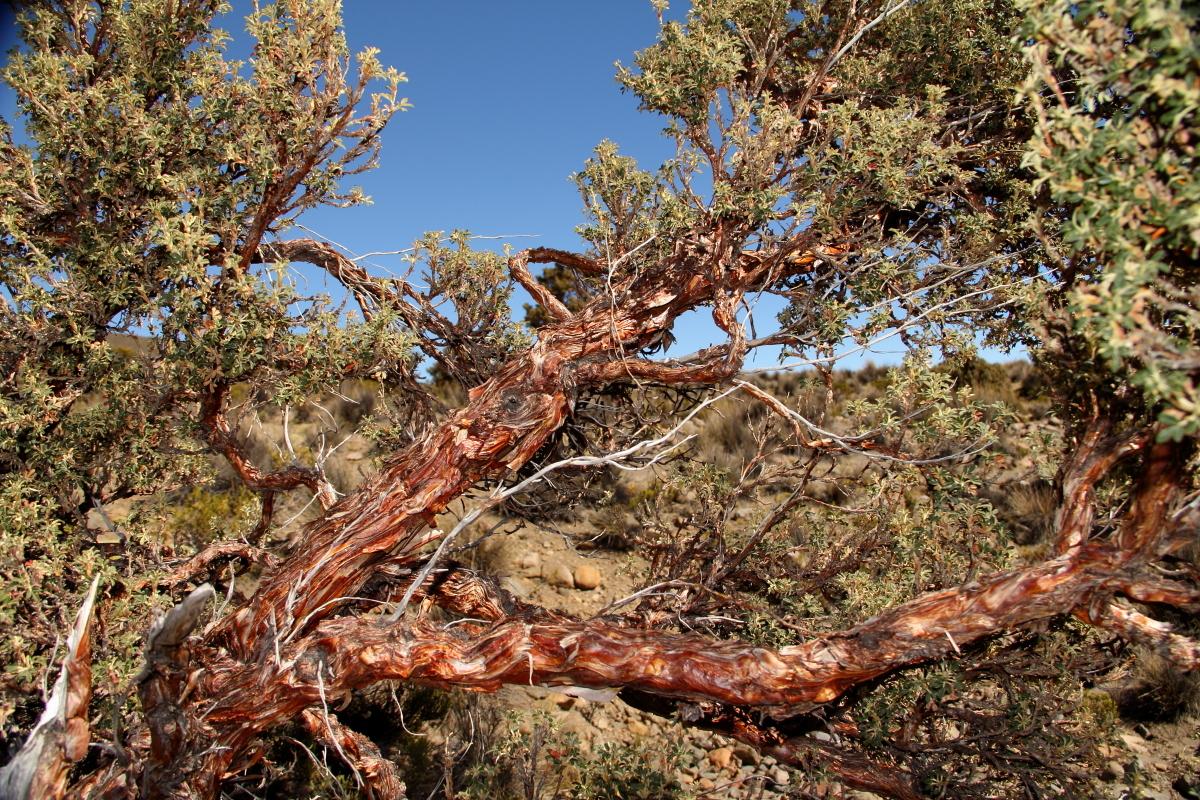 Image of <i>Polylepis tarapacana</i>