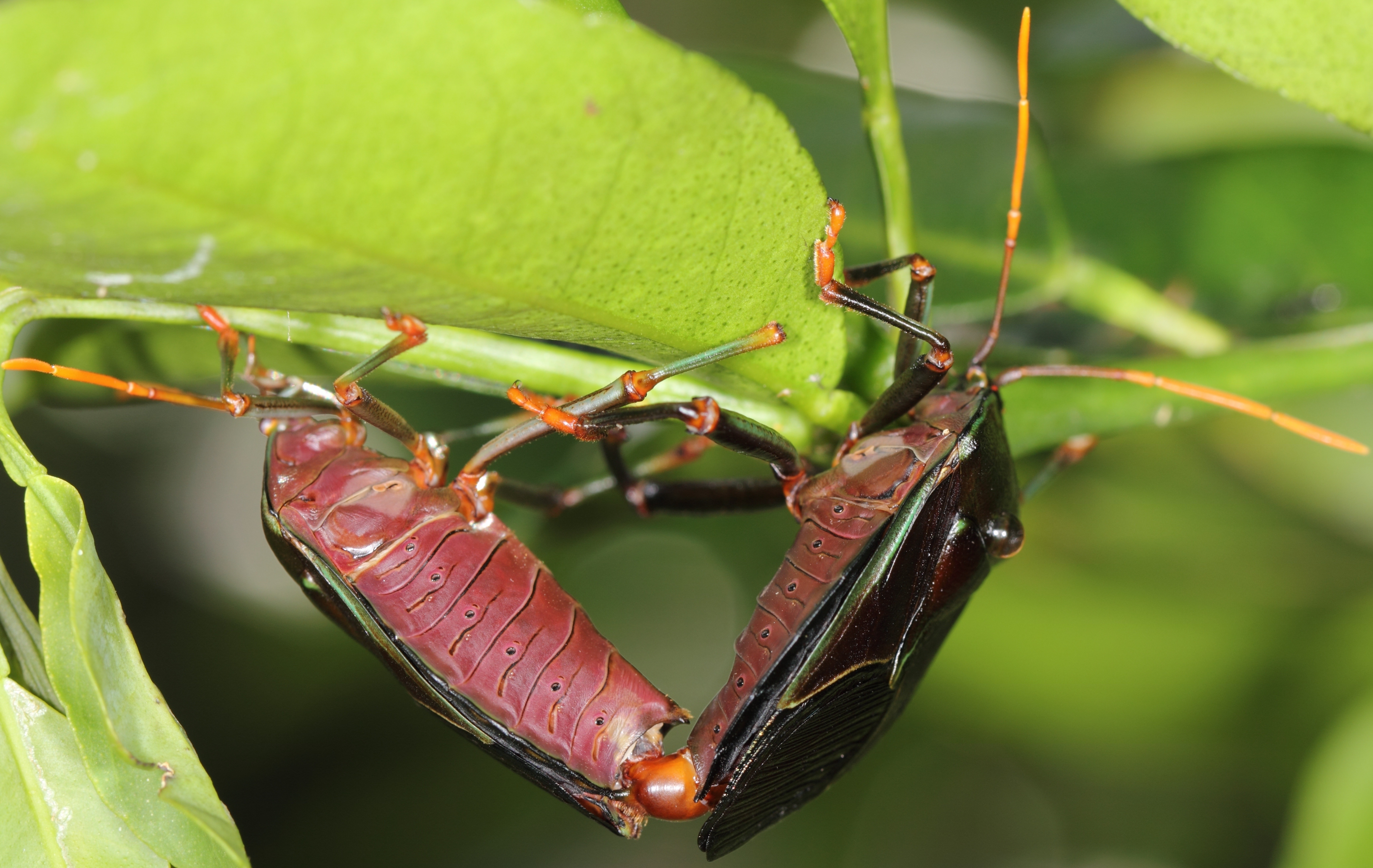 Image of <i>Musgraveia sulciventris</i> (Stal 1863)