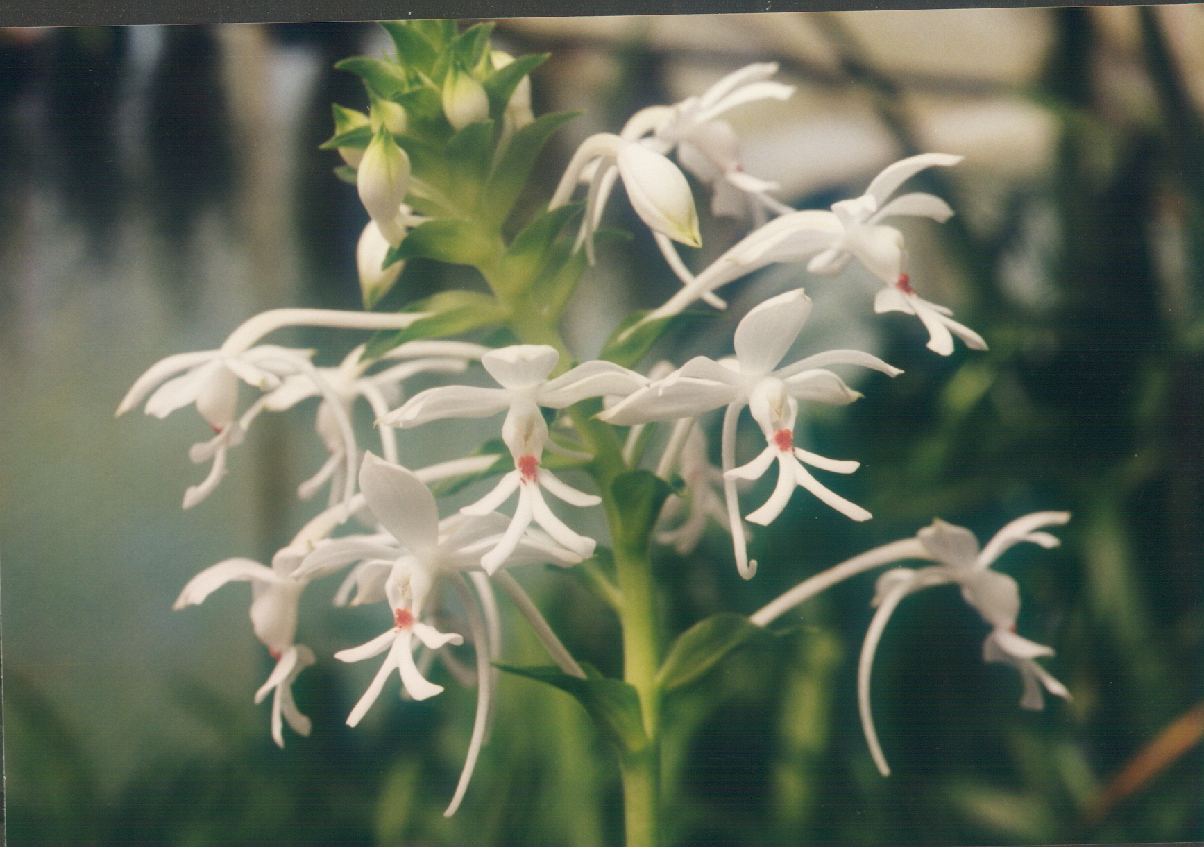 Image of White Calanthe