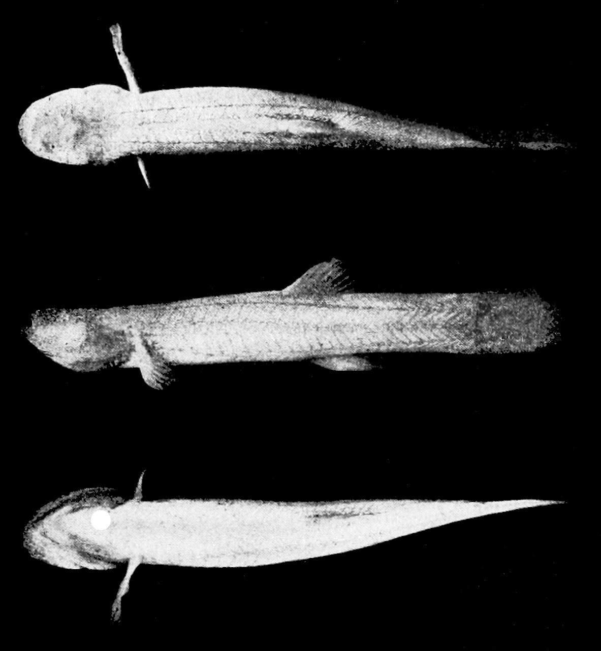 Image of Spring cavefish
