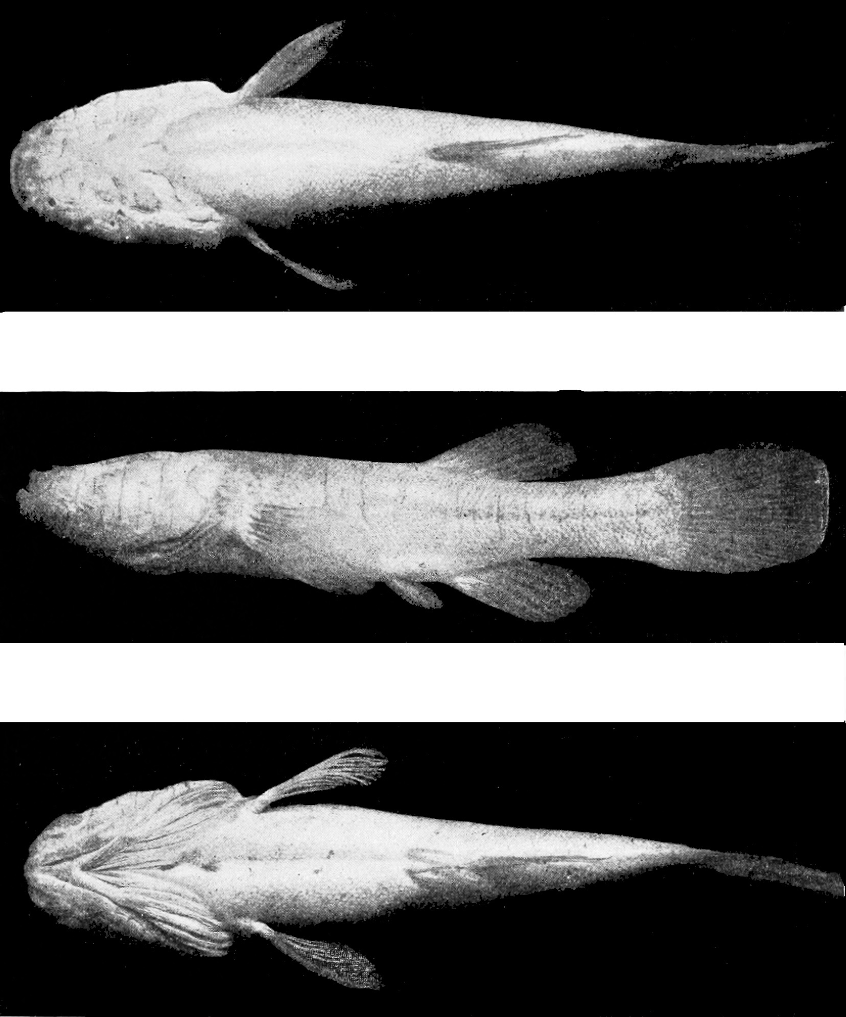Image of cavefishes