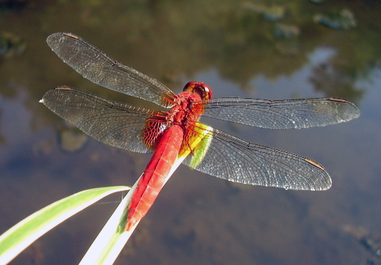 Image of Oriental Scarlet