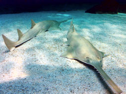 Image of Green Sawfish