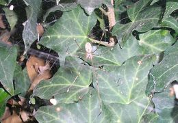 Image of Marbled Cellar Spider