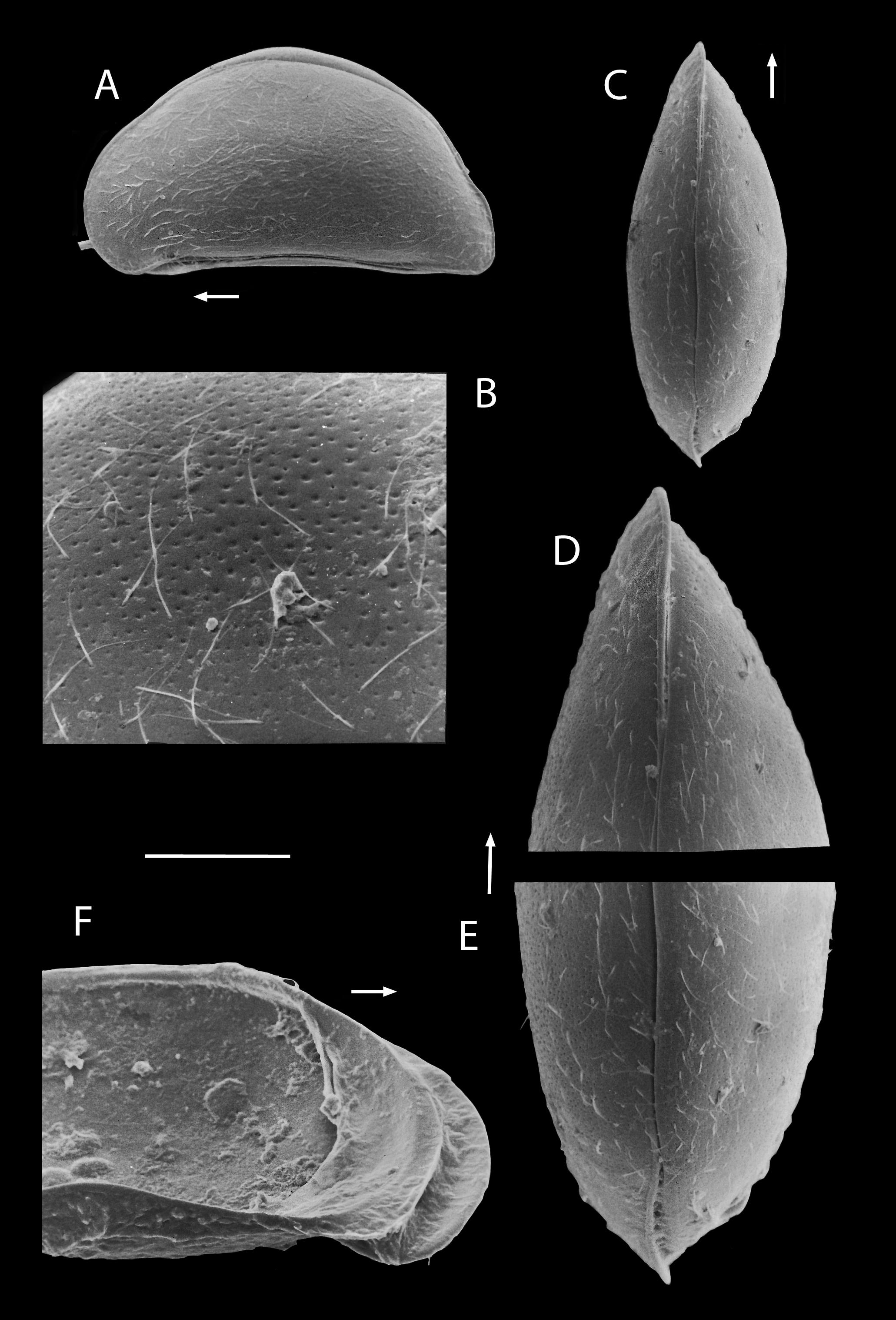 Image of <i>Potamocypris mastigophora</i>
